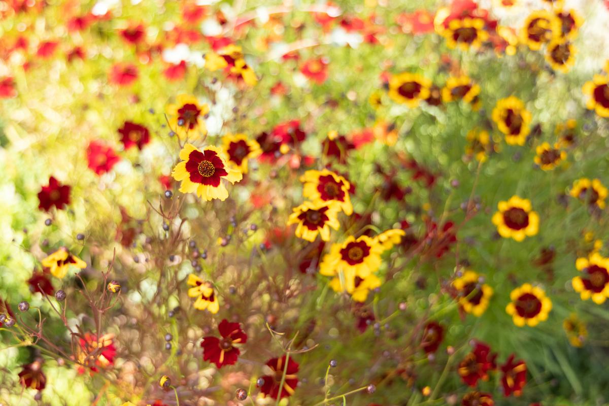 dye garden flower plant ffrench